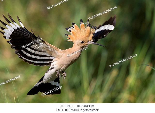 Hoopoe (Upupa epops). Adult in flight. Germany