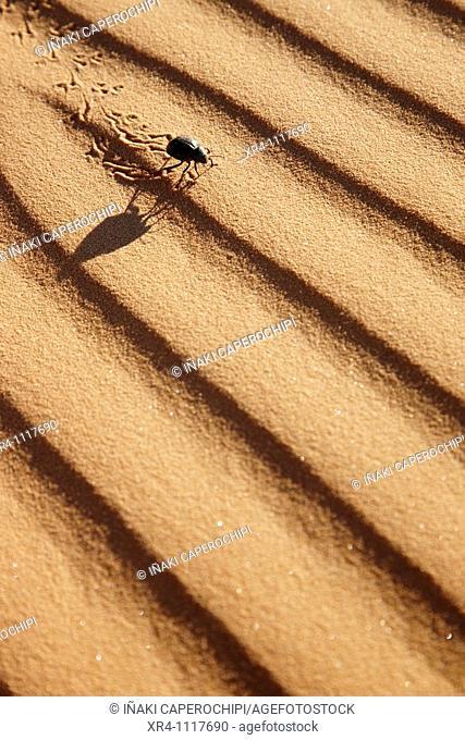 Black desert beetle in sand, Wadi Tanezzouft, Ghat, Libia
