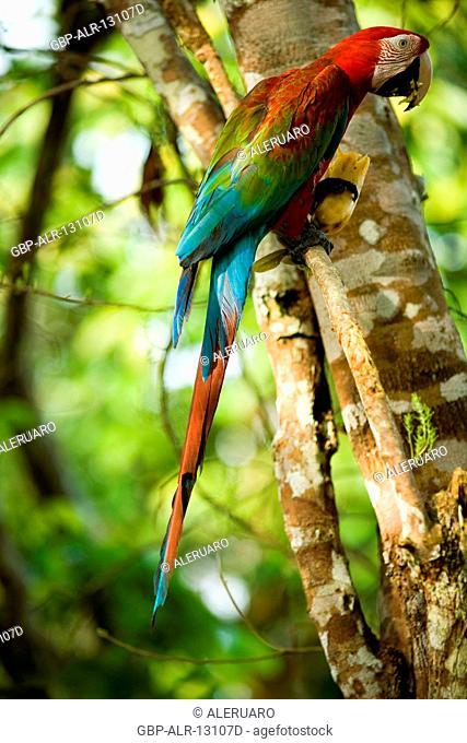 Macaw, Tree, Jaraqui Community, Negro River, Manaus, Amazônia, Amazonas, Brazil