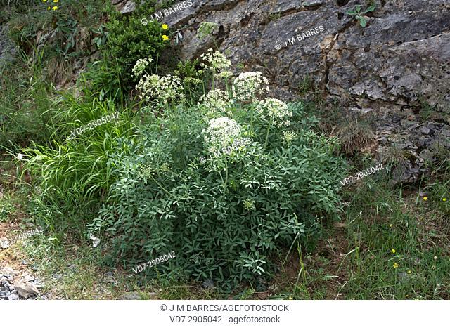 Broad-lived sermountain (Laserpitium latifolium) is a perennial herb with biternate leaves. Flowers are white and clustored in umbrels
