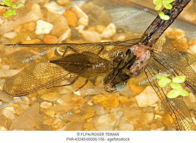 Water scorpion nymph Stock Photos and Images | age fotostock