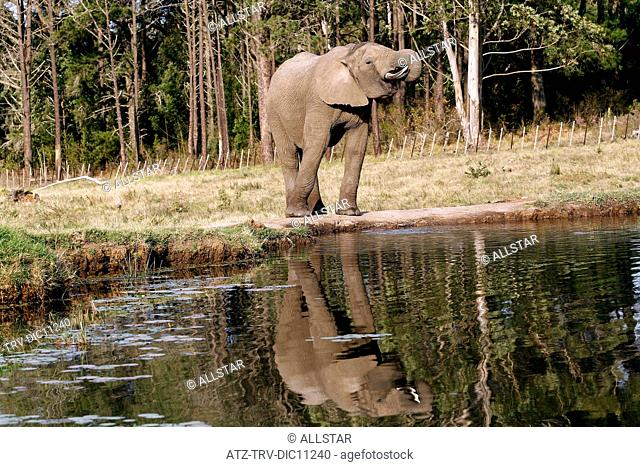 AFRICAN ELEPHANT & REFLECTION; KNYSNA ELEPHANT PARK, SOUTH AFRICA; 05/07/2010