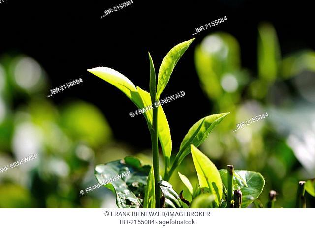 Tea plants in one of the tea gardens near Kaziranga National Park, Assam, India, Asia