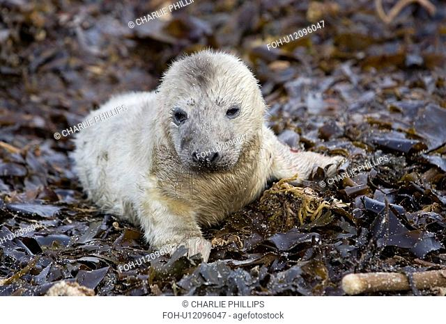 A Grey Seal pup Halichoerus grypus resting on seaweed, Pentlands Firth, Scotland