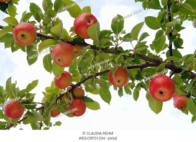Germany, Bavaria, Tree with apples, close-up