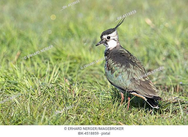 Northern lapwing (Vanellus vanellus) standing in meadow, Emsland, Lower Saxony, Germany