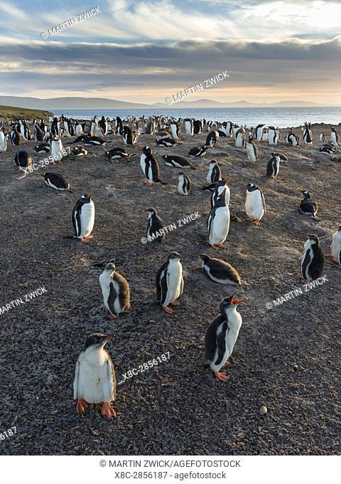 Gentoo Penguin (Pygoscelis papua), Falkland Islands. Colony. South America, Falkland Islands, January