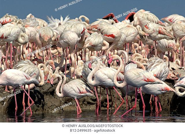 Greater Flamingoes (Phoenicopterus roseus), colony. Camargue, Southern France