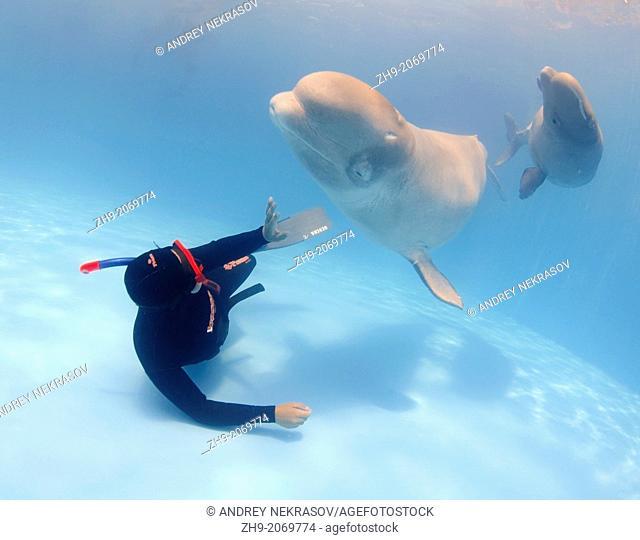 diver and Beluga, White whale (Delphinapterus leucas), Delphinarium, Odessa, Ukraine