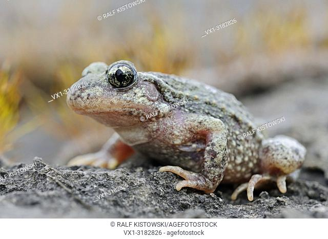Common Midwife Toad ( Alytes obstetricans ), sitting on rocks of an old quarry, frontal side view, detailed shot, Europe