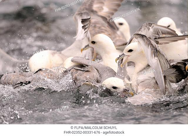 Northern Fulmar Fulmarus glacialis adults, group squabbling for food on sea surface, Iceland, June