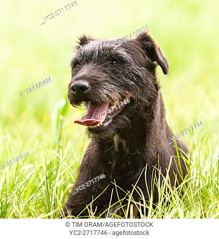 A working Patterdale Terrier in the Uk
