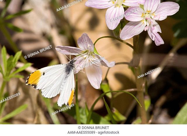 Male Falcate Orangetip (Anthocharis midea) nectars at Spring Beauty (Claytonia virginica). Boone County, Missouri, 20 April 2008