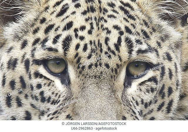 Leopard (Panthera pardus), Gronklitt zoo, Dalarna, Sweden
