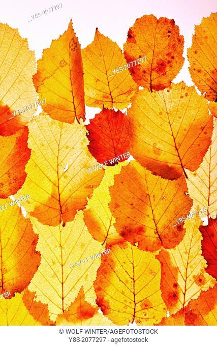 Leaves taken in the studio