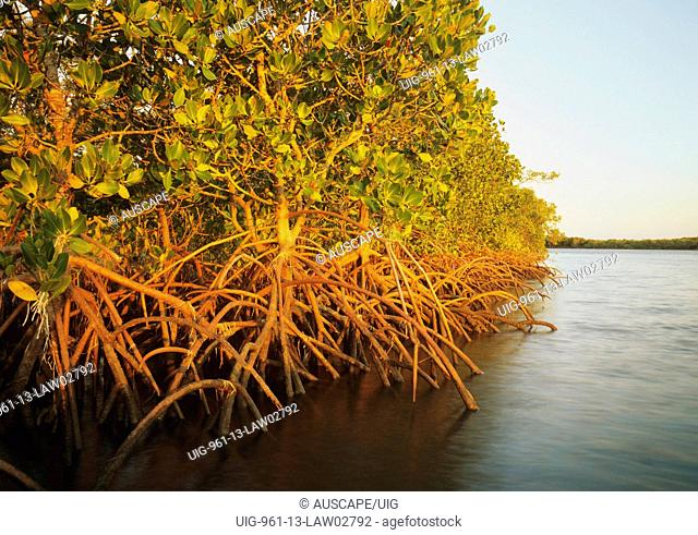 Stilt-rooted mangroves, Baffle Creek, central Queensland, Australia