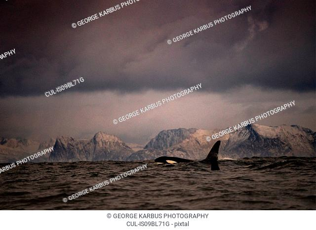 Killer whale (Orcinus orca), hunting for food, Andenes, Nordland, Norway