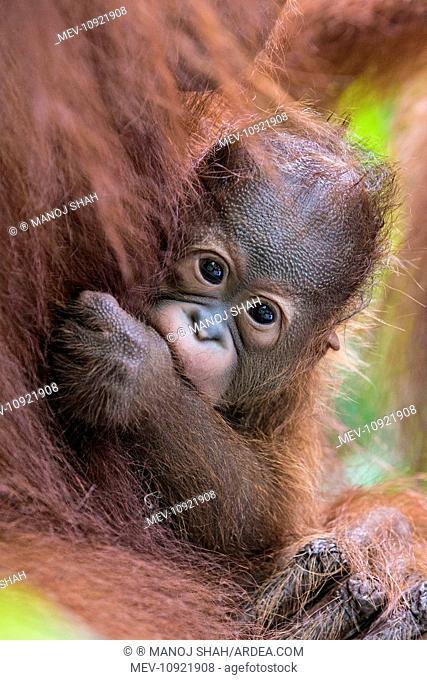 Bornean Orang utan. baby in mother's arms - Malaysia. (Pongo pygmaeus)