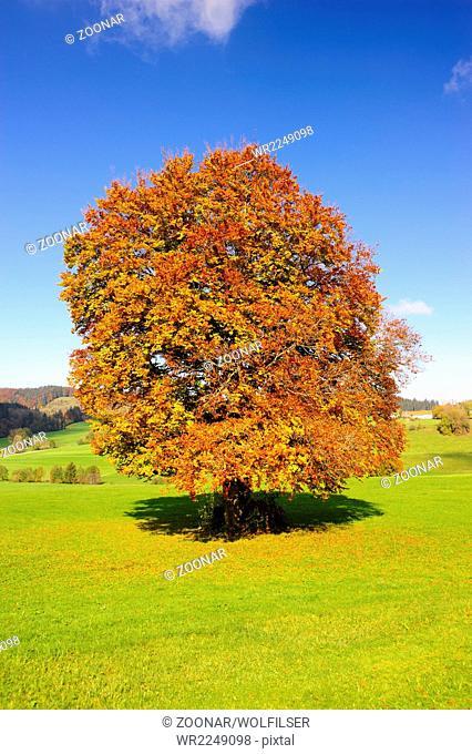 big old beech tree at autumn