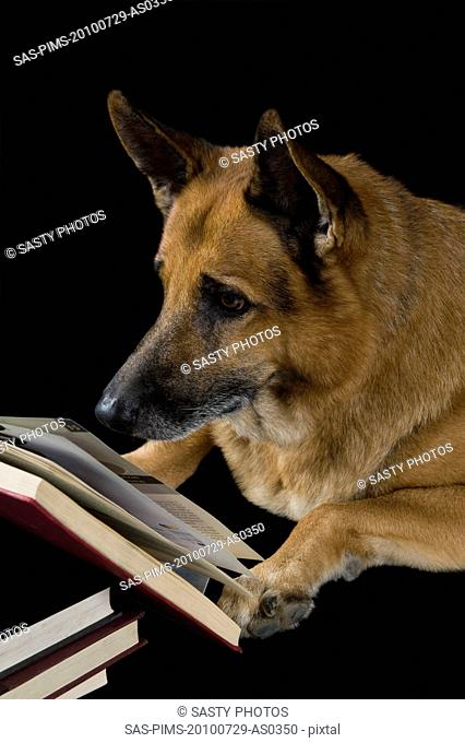 German Shepherd dog reading a book