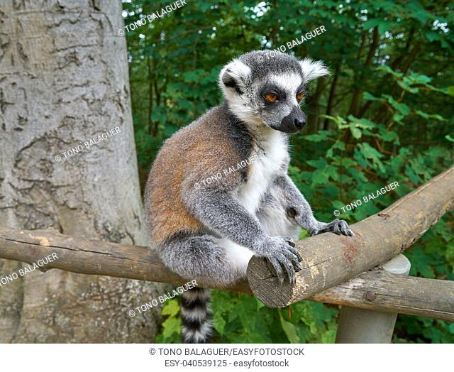 Ring tailed lemur outdoor forest image