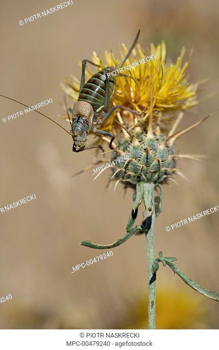 Bush Cricket (Uromenus ortegai), Guadarrama Mountains, Spain