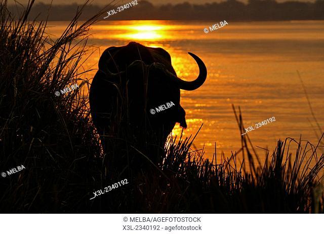 African Buffalo in Zambezi river, Syncerus caffer. Mana Pools National Park. Zimbabwe