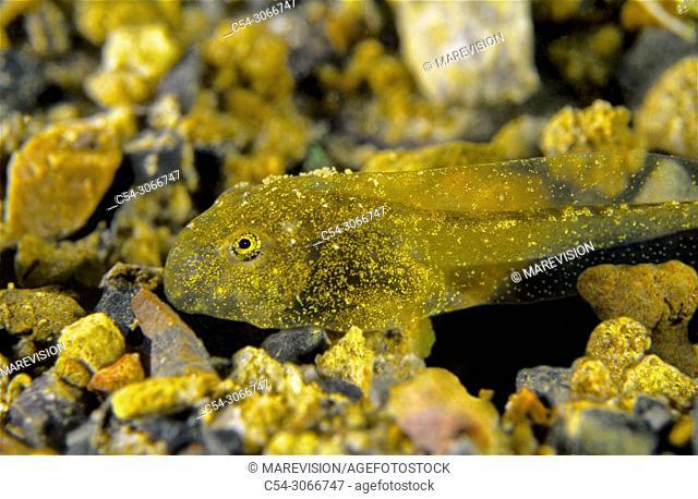 Nurse frog. Common midwife toad (Alytes obstetricans). Tadpole. Lake. Lago del Valle. Lagos de Somiedo. Asturias. Spain. Europe