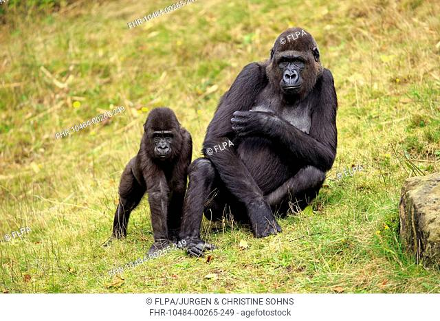 Western Lowland Gorilla (Gorilla gorilla gorilla) adult female with young, on grass (captive)