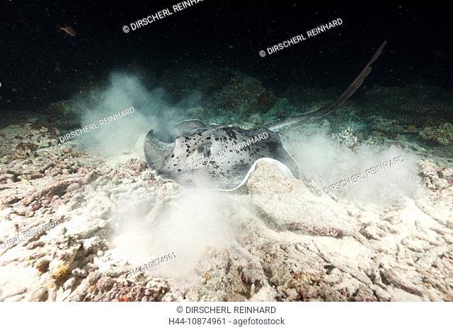 Schwarzpunkt-Stachelrochen jagt in der Nacht, Taeniura meyeni, Maya Thila, Nord Ari Atoll, Malediven, Blotched Fantail Stingray hunting at Night