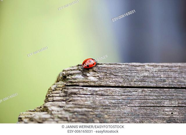 Close-up of ladybug walking along a weathered wooden fence in spring
