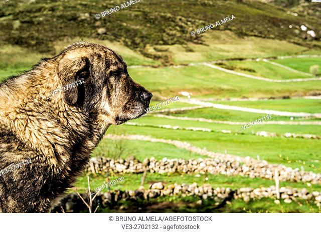 Spanish Mastiff in Somiedo mountain pass (region of Asturias, Spain)