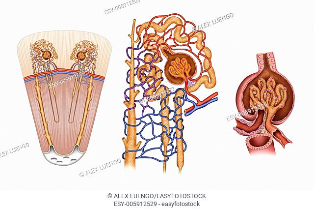 Schematic illustration of the descriptive elements of the nephron system