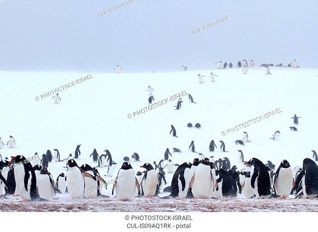 Colony of Gentoo penguins (Pygoscelis papua) on Half Moon Island, Antarctica