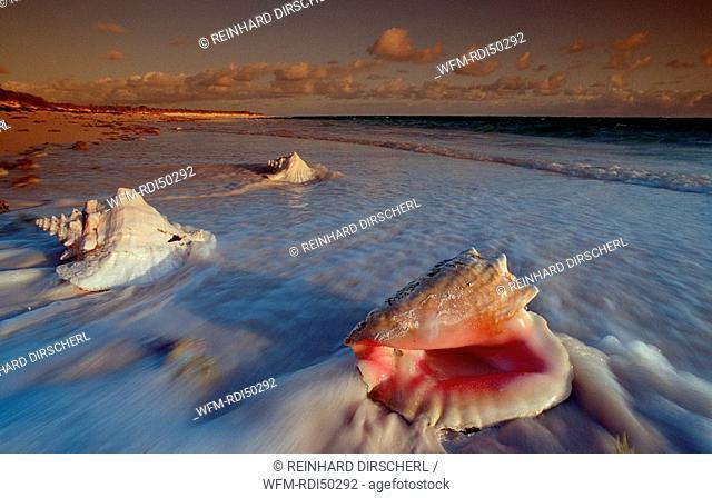 Conch, Caribbean Sea Cat Island, Bahamas