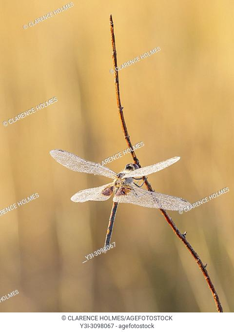 A dew covered male Ornate Pennant (Celithemis ornata) perches on its overnight roost on a plant stem early in the morning