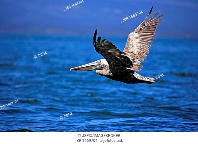 Brown Pelican (Pelecanus occidentalis), adult, in flight, Galapagos Islands, Pacific Ocean