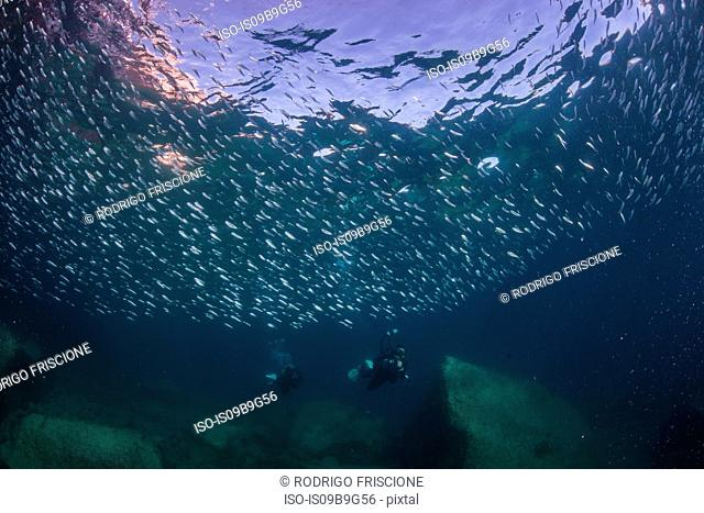 Sardines and divers in ocean, La Paz, Baja California Sur, Mexico