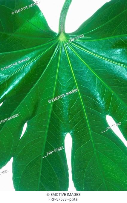 Leaf, close up