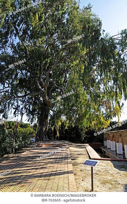 La Rana, public washing area, 100-year-old eucalyptus tree, Gata de Gorgos, Alicante, Costa Blanca, Spain