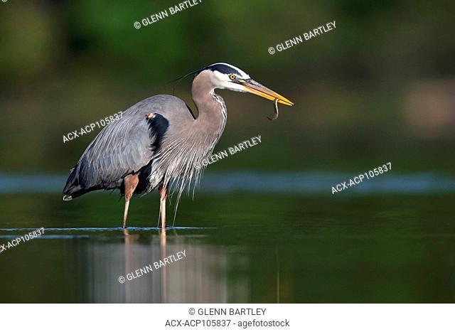 Great Blue Heron, Ardea herodias, British Columbia, Canada