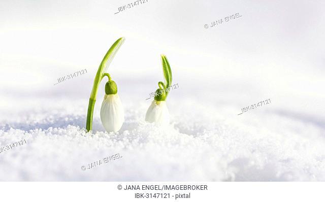 Snowdrop (Galanthus nivalis), Germany