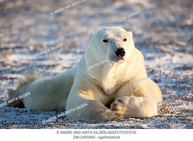 Polar bear (Ursus maritimus) lying down at frozen tundra, looking up, Churchill, Manitoba, Canada