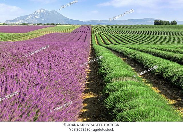 harvest of lavender, Valensole, Alpes-de-Haute-Provence, Provence, France, Europe