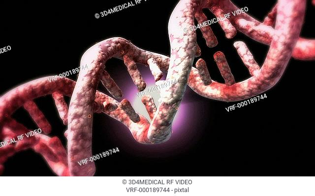 An animation showing the structure of a section of DNA. The bases lie horizontally between the two spiraling strands