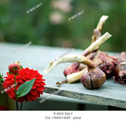 Some onions and a red Dahlia flower