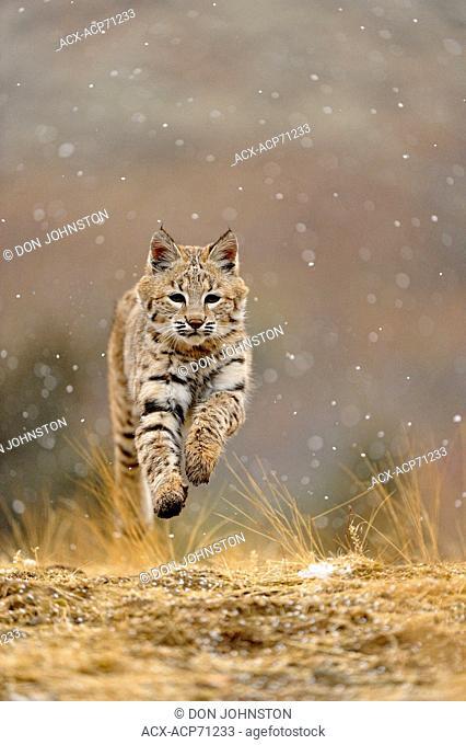 Bobcat (Lynx rufus) Captive young individual in late autumn mountain habitat, Bozeman, Montana, USA