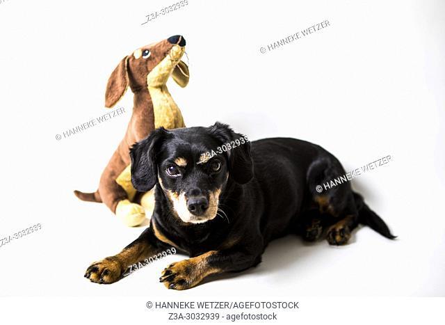 Studio shot of a Rottweiler Dachshund cross dog with a similar stuffed toy