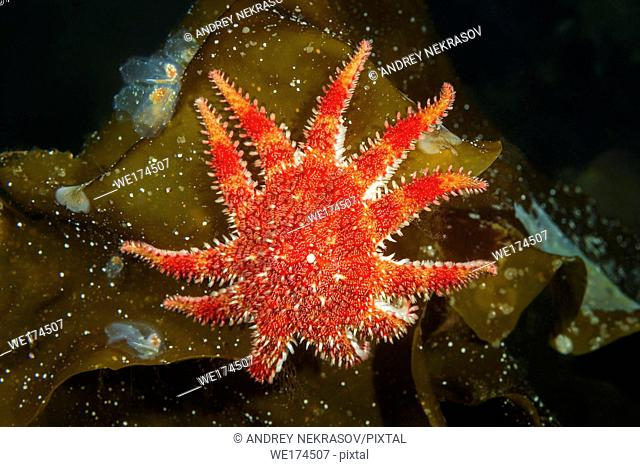 Snowflake Star or Common Sun Star (Crossaster papposus) on laminaria. Northern Atlantic, Norway, Europe