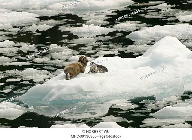 Harbor Seal (Phoca vitulina) mother and pup resting on iceberg, LeConte Glacier, southeast Alaska